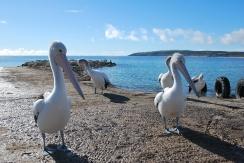 Coreografia para o visitante (Kangaroo Island)