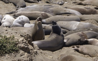Elephant Seal Vista