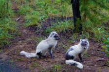 Raposas do Ártico na Yukon Wildlife Preserve
