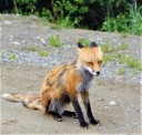 Raposa na Yukon Wildlife Preserve